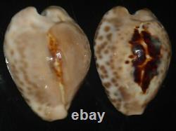 Cypraea teulerei 47.1 + 45.8mm GEM SET OF TWO PCS CONTRASTING PATTERN BEAUTIES