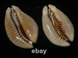 Cypraea Donmoorei 63,8mm Tristensis 63,5mm Gem Set De Deux Pcs