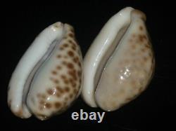 Cypraea Teulerei 47.1 + 45,8mm Gem Set De Deux Pcs Contractant Des Beautes De Patternes